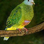 Coronated Fruit Dove Poster