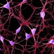 Cortical Neurons Poster