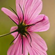 Cosmos In Pink Poster