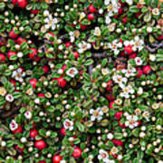 Cotoneaster Bush Background Poster