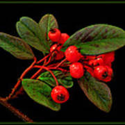 Cotoneaster Poster