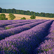 Cotswolds Lavender Poster