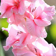 Cotton Candy Gladiolus Poster