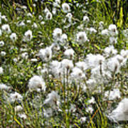 Cotton Grass On Homestead Trail In Homer-ak- Poster