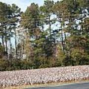 Cotton Season Poster