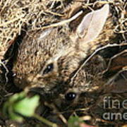 Cottontail Kits Poster