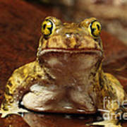 Couchs Spadefoot Toad Poster