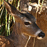 Coues White-tailed Deer - Sonora Desert Museum - Arizona Poster