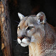 Cougar Fascination Poster