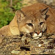 Cougar On Lichen Rock Poster