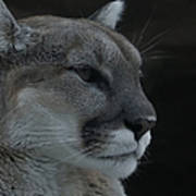 Cougar Profile Poster