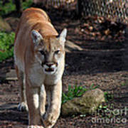 Cougar Walking Towards You Poster