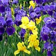 Country Road Irises  Poster