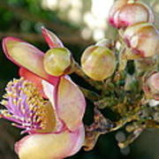 Couroupita Guianensis - Cannonball Tree Flowers Poster