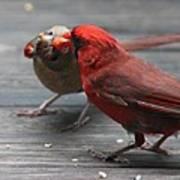 Courting Cardinal Poster
