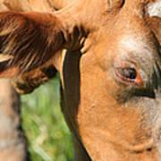 Cow Closeup 7d22391 Poster