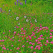 Cow Clover And Ox-eye Daisies On Campobello I Poster
