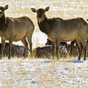 Cow Elk   #0479 Poster
