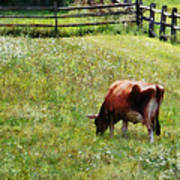 Cow Grazing In Pasture Poster