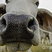 Cow Nose Poster by Cindy Bryant