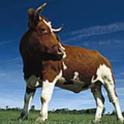 Cow Standing In Field Germany Poster
