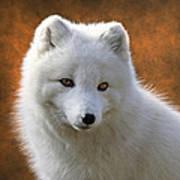 Coy Arctic Fox Poster