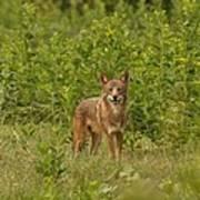 Coyote Happy Poster
