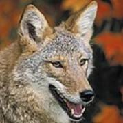 Coyote In Maple Poster