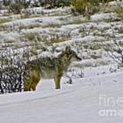 Coyote In The Snow Poster