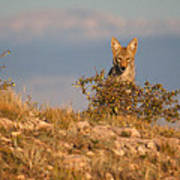 Coyote Watching Poster