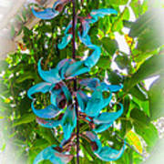 Crab Claw Vine In Kula Maui Poster