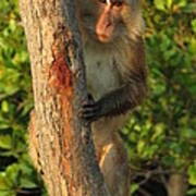 Crab Eating Macaque Poster by Ramona Johnston