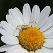 Crab Spider On Daisy Poster