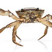 Crab Suriname Poster