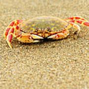 Crab Walk Poster by Rebecca Adams