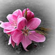 Crabapple Flower Poster