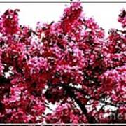 Crabapple Tree Blossoms Poster