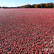 Cranberry Bog In New Jersey Poster