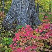 Cranberry Bush And Cottonwood Tree Poster