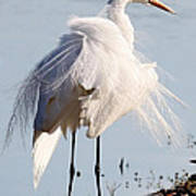 Crazy Egret Feathers Poster