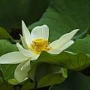 Cream Colored Lotus Poster
