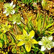 Cream Cups In Antelope Valley California Poppy Reserve-california  Poster
