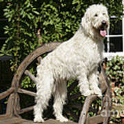 Cream Labradoodle On Wooden Chair Poster
