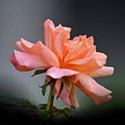 Creamy Peach Rose Poster