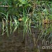 Creek Grass Poster