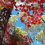 Crimson Foliage Poster