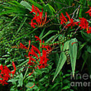 Crocosmia In Red Poster