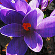 Crocus Purple And Orange Poster