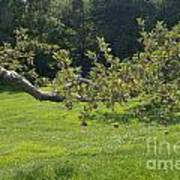 Crooked Apple Tree Poster