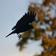Crow In Flight 1 Poster